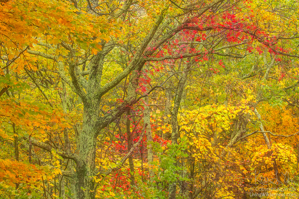 Trees in the Monongahela National Forest near Maysville, West Virginia, display the full spectrum of autumn colors in the early fall.