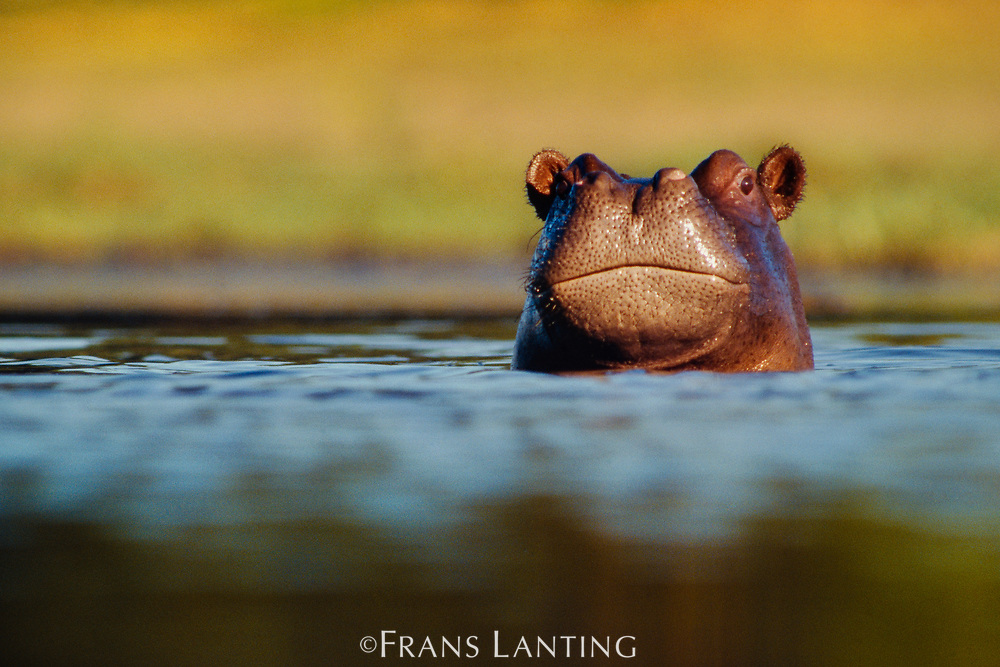Young hippo, Okavango Delta, Botswana