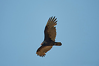 Turkey Vulture (Cathartes aura) in flight, San Juan Cosala, Jalisco, Mexico