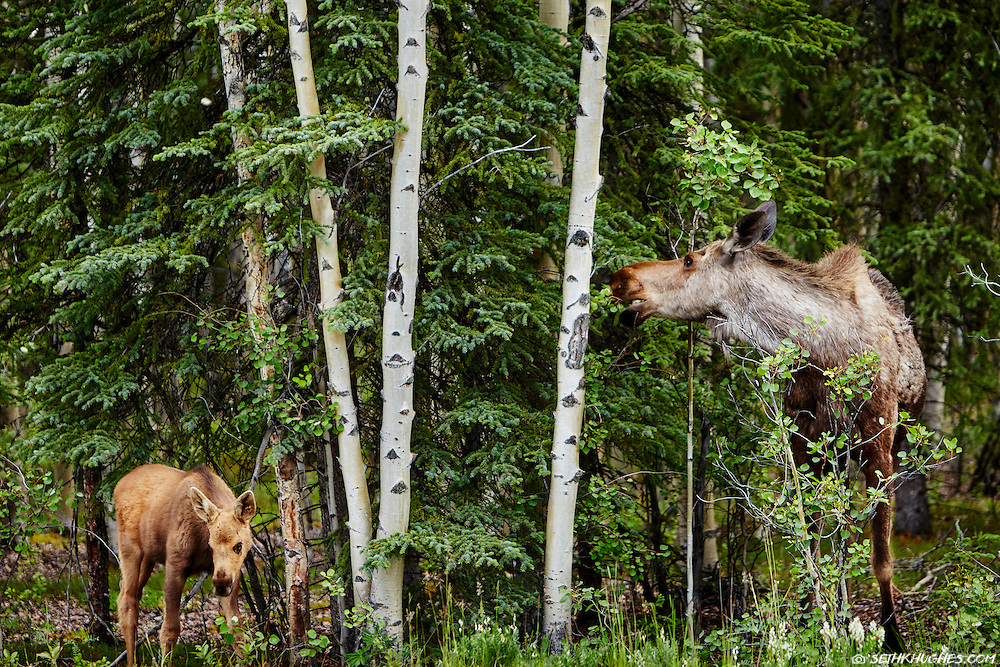 A moose cow and calf forage for food among the aspen and pine trees in Denali National Park, Alaska.