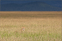 Lioness (Panthera leo) stalking in the grass at first light, Serengeti