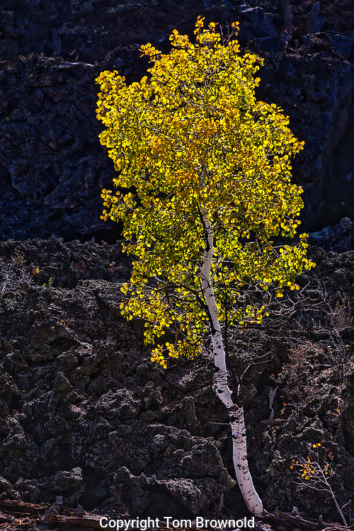 Aspen tree and Lava Field at sunset crater national monument