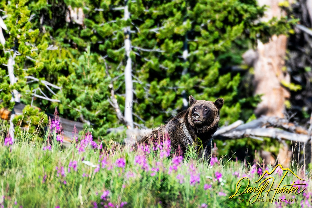 Grizzly bear  in the fireweed. Fireweed is a late summer bloomer of the higher elevations. I was happy to find a grizzly bear in some. This is high in the Absaroka Mountains outside of Dubois Wyoming