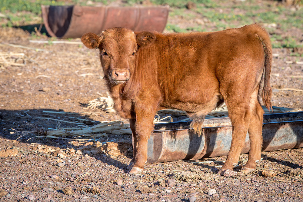 View of a calf on Dabis Guest Farm in Helmeringhausen, southern Namibia, Africa.