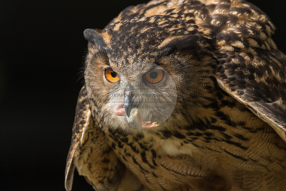 Eurasian Eagle Owl eating prey at the Center for Birds of Prey November 15, 2015 in Awendaw, SC.