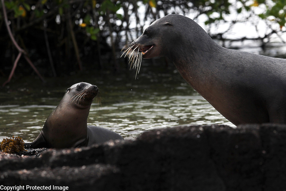A sea lion mother and her calf are photographed on Florian Island in the Galapagos.