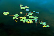 Water lily pads in Middle Lake<br /> Kenora<br /> Ontario<br /> Canada