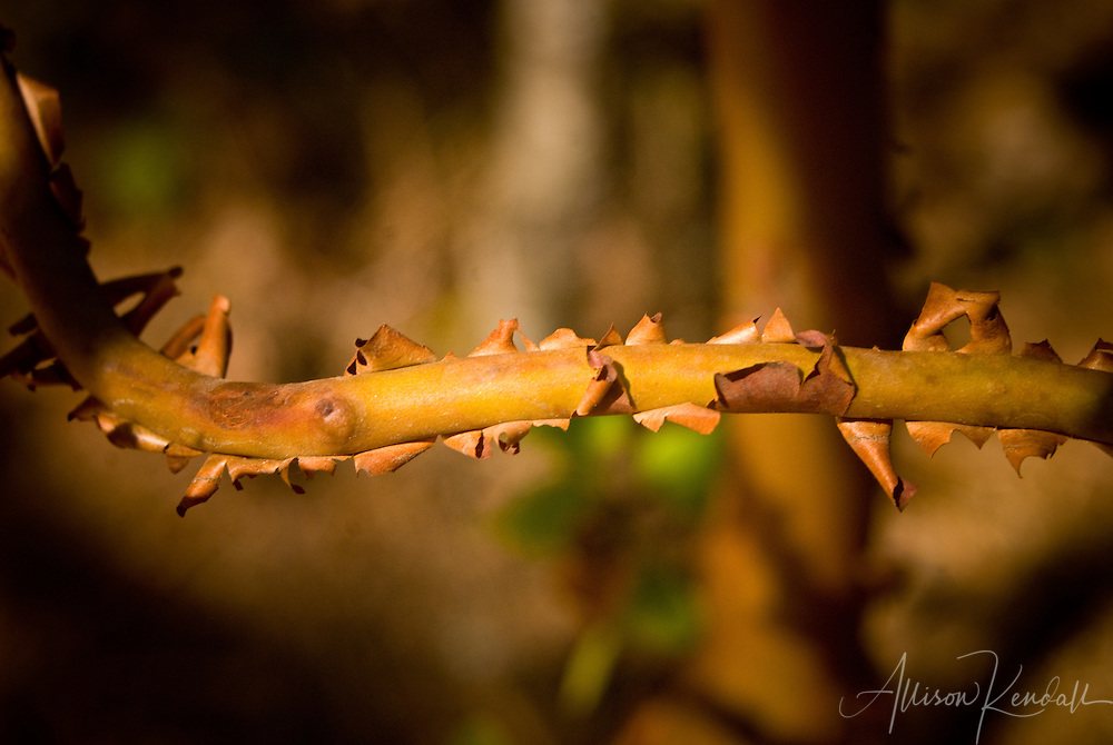 Detail of peeling Arbutus menziesii or Pacific madrone bark in a coastal California forest