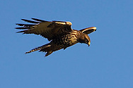 A Red-tailed Hawk (Buteo jamaicensis) hovers in the wind looking for food.