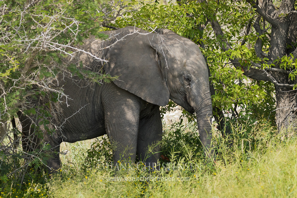 An african elephant eats leaves and grass, Etosha National Park, Namibia.