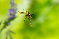 Paper Wasp (Polistes exclamans)<br /> TEXAS: Bastrop County<br /> McKinney Roughs Nature Park; Cedar Creek<br /> 13-May-2016<br /> J.C. Abbott #2813
