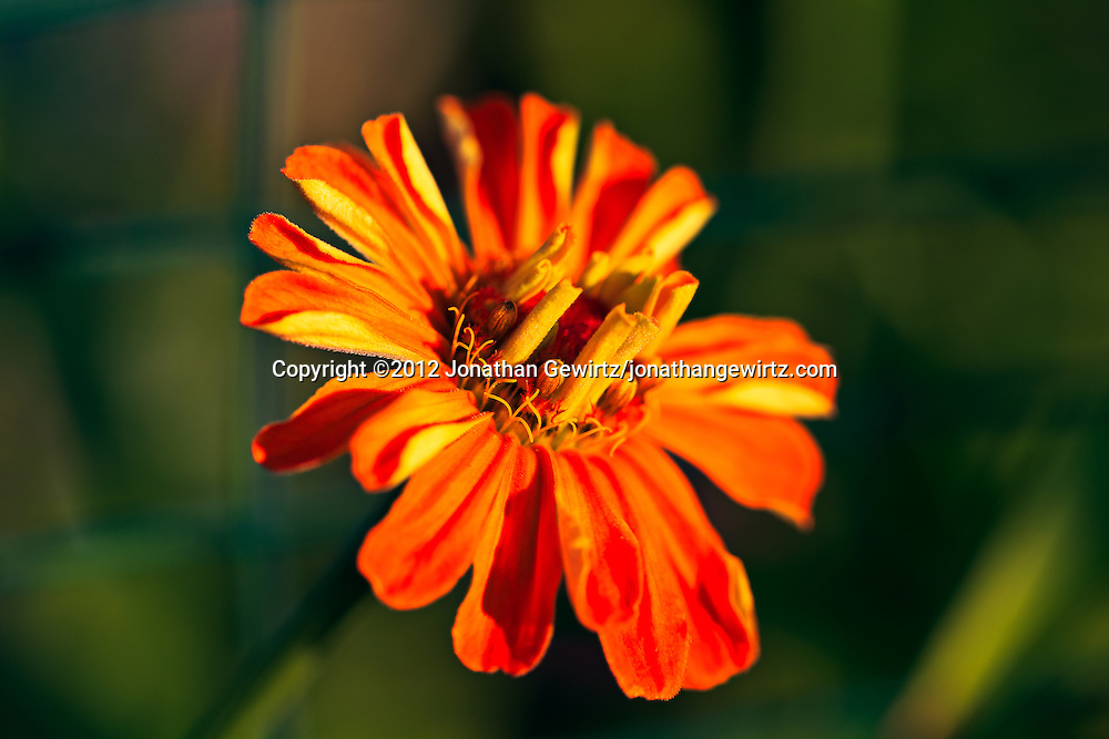 Macro view of a fading Zinnia (Asteraceae) blossom in a garden. WATERMARKS WILL NOT APPEAR ON PRINTS OR LICENSED IMAGES.