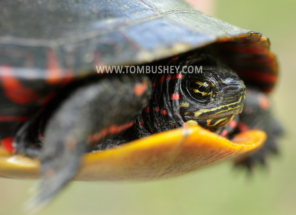 Wurtsboro, New York - A closeup view of a painted turtle on May 28, 2011. The painted turtle is the most abundant turtle in North America.