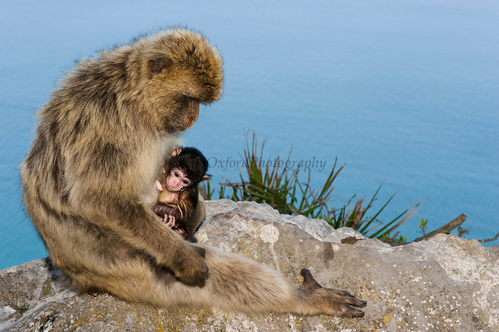 Barbary Macaque or Barbary Ape (Macaca sylvanus) & baby<br /> GIBRALTAR, UNITED KINGDOM<br /> Only monkey in Europe. True monkeys not apes and the only monkey without a tail. They are arboreal and terrestrial.<br /> IUCN: ENDANGERED SPECIES