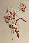 Papaver somniferum, (opium poppy) Red chalk on paper by Nicolas Robert from Sketchbook A at the Jardin Du Roi, Paris c 1650