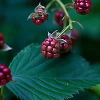 Black Satin blackberry (Rubus fruiticosus 'Black Satin')