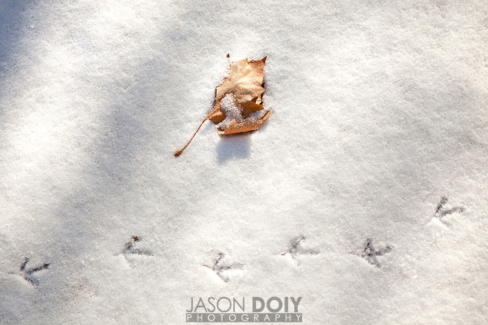Quail Tracks in fresh snow in the middle of winter.