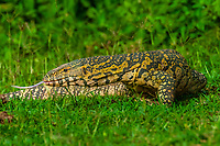 Nile monitor lizards mating, Kazinga Channel, Queen Elizabeth National Park, Uganda.