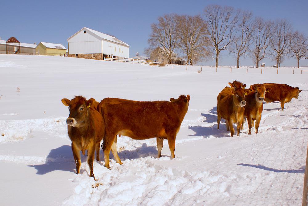 Winter snow, cattle, farm landscape, Cumru Township, Berks Co., PA