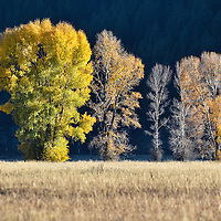 Sun catching Cottonwood trees with a dark background
