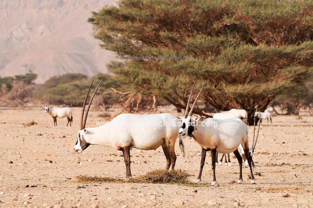 Israel, Aravah, The Yotvata Hai-Bar Nature Reserve breeding and reacclimation centre. A breeding herd of Arabian Oryx (Oryx leucoryx) (or White Oryx)