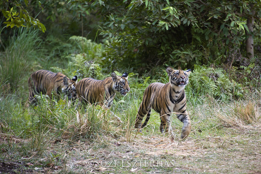 Tiger <br /> Panthera tigris<br /> Eight month old cub(s)<br /> Bandhavgarh National Park, India<br /> *Endangered species