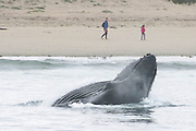 Surprise! Humpback whale gets dog's attention as it emerges from water incredibly close to California shoreline to feed on anchovies<br /> <br /> This is the moment a huge humpback whale emerged from water close to the California coastline to say hello which seemed to startle a passing dog.<br /> <br /> The amazing image was captured on Sunday by Kate Cummings, of the Blue Ocean Whale Watch, near Moss Landing in California's Monterey Bay. <br /> <br /> The whale lunged up out of the water to feed on a mouthful of anchovies.<br /> <br /> A woman walking her dog along the beach was lucky enough to have a camera on hand to capture the moment.  <br /> <br /> In another photo a whale pops out to say hello to a mother and her daughter.<br /> <br />      <br /> According to Ms Cummings, the whales began appearing close to the shore over the weekend. <br /> <br /> Before Sunday the closest they would come to shore was about 100 yards but now it has been more like 50 yards.<br /> <br /> Ms Cummings said this might be because anchovies had begun to bunch up closer to the shoreline. <br /> <br /> She told GrindTV: 'I think it has to do with the calmness of the ocean and the tides, plus the anchovies trying to seek refuge in shallow water—to no avail.<br /> <br /> 'The last few days our routine has been to first check out the whales lunge-feeding on anchovies along the beach, then head out a mile-and-a-half to groups of 10 to 12 humpbacks feeding together with hundreds of sea lions.<br /> <br /> 'The whales have drawn a crowd at the beach, and I was hoping she'd come up near a beachgoer for a sense of scale. The alert dog was a bonus.'<br /> <br /> Humpback whales are known for their magical songs, which travel for great distances through the world's oceans.<br /> <br /> These sequences of moans, howls, cries, and other noises are quite complex and often continue for hours on end.<br /> <br /> Scientists are studying these sounds to decipher their meaning. It is most likely that humpbacks sing to communicate with others and to attract potential mates.<br /> <br /> Mothers and their young swim close together, often touching one another with their flippers