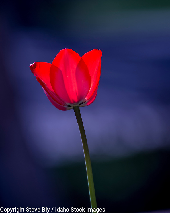 Flowers, Backlit Red Tulip blurred with a floral background. USA
