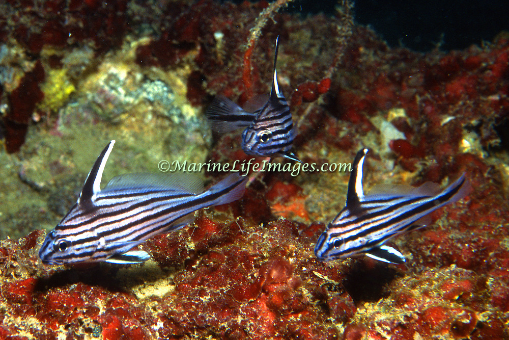 Cubbyu inhabit secluded areas of reefs, often under ledges, in recesses or near the entrance to caves in North Carolina to Florida and Gulf of Mexico; picture taken Key Largo, FL.