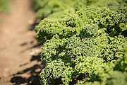 Organic kale grows on one of the many incubator farms which is part of the ALBA program in Salinas, CA.