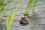 Horned Grebe from Rear