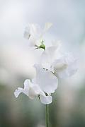 Lathyrus odoratus 'Diamond Jubilee' - sweet pea