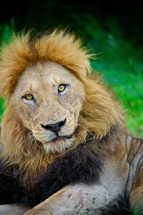 A male lion (Panthera leo) rests in Manyeleti Conservancy.
