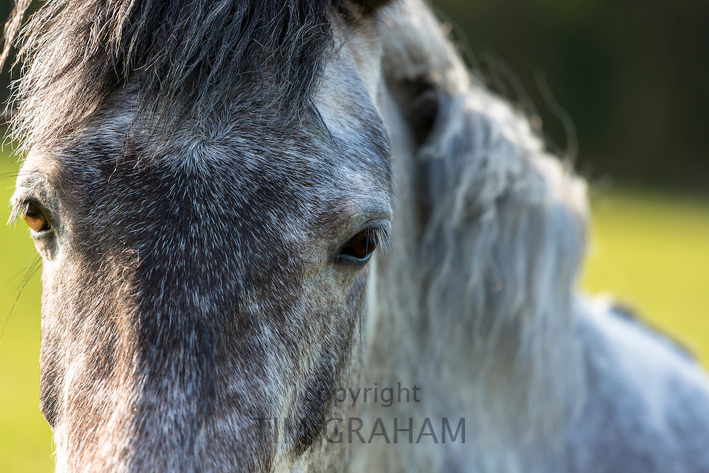Close up of a roan (strawberry roan) color horse in England