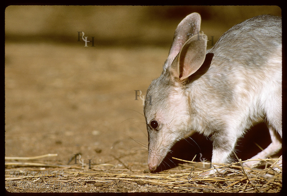 Rabbit-eared bandicoot, or bilby, forages along floor of its pen; Conservation Commssn of NT/Alice Australia