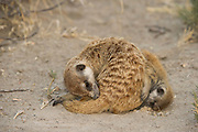 Meerkat or Suricate (Suricata suricatta) Grooming<br /> Makgadikgadi Pans, Kalahari Desert<br /> Northeast BOTSWANA<br /> HABITAT &amp; RANGE: Kalahari Desert in Botswana, Namib Desert of Namibia, Angola and South Africa