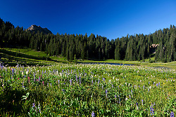 Wildflower meadow in front of Tipsoo Lake, Mt. Rainier National Park, Washington, United States of America