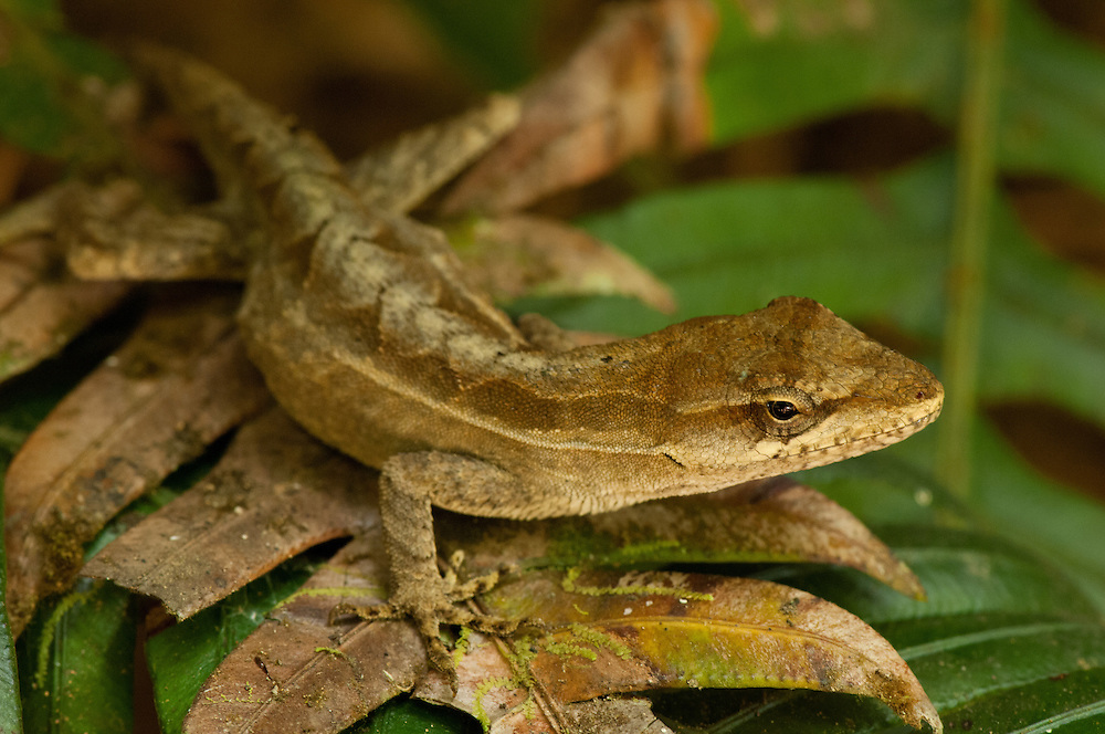 Anolis ornado (Anolis crassulus.Cloud forests of El Triunfo Biosphere Reserve, in the Sierra Madre del Sur range in Chiapas, Mexico