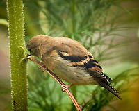 Immature Goldfinch trying to eat a Sunflower stalk. Image taken with a Nikon 1V3 camera and 70-300 mm VR lens