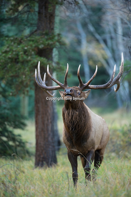 large bull elk with head back nose in air aspen trees