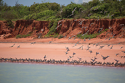 A flock of migratory shorebirds rise from the beach at Crab Creek, on Roebuck Bay in the Kimberley wet season.