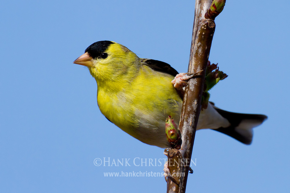An american goldfinch clings to the narrow branch of a cherry tree
