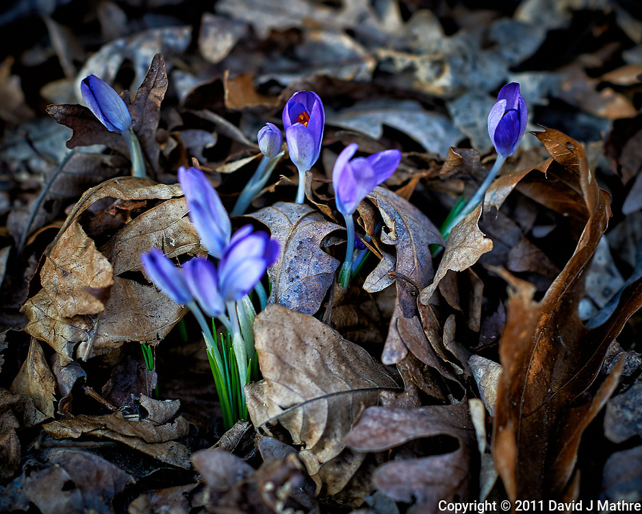 Purple crocus blooms peaking above the fall leaves. A sure sign that spring is coming. Image taken with a Nikon D3s camera and 85 mm f/1.4 lens (ISO 200, 85 mm, f/2.8, 1/200 sec).