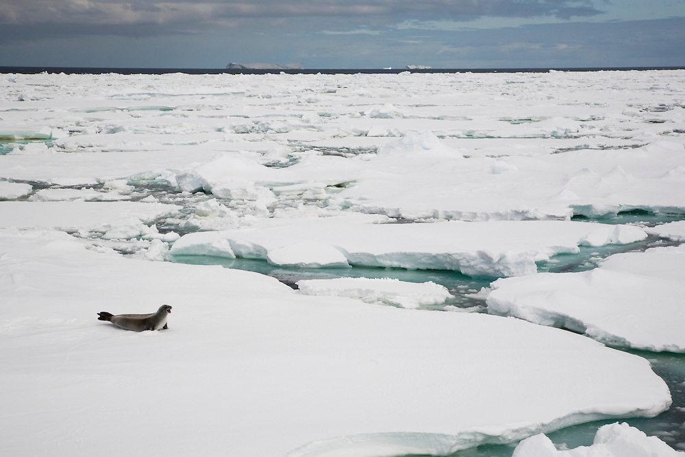 February 19th 2007. Ross Sea. Southern Ocean. A Crabeater Seal (Lobodon carcinophaga) moves atop sea ice in the Ross Sea.