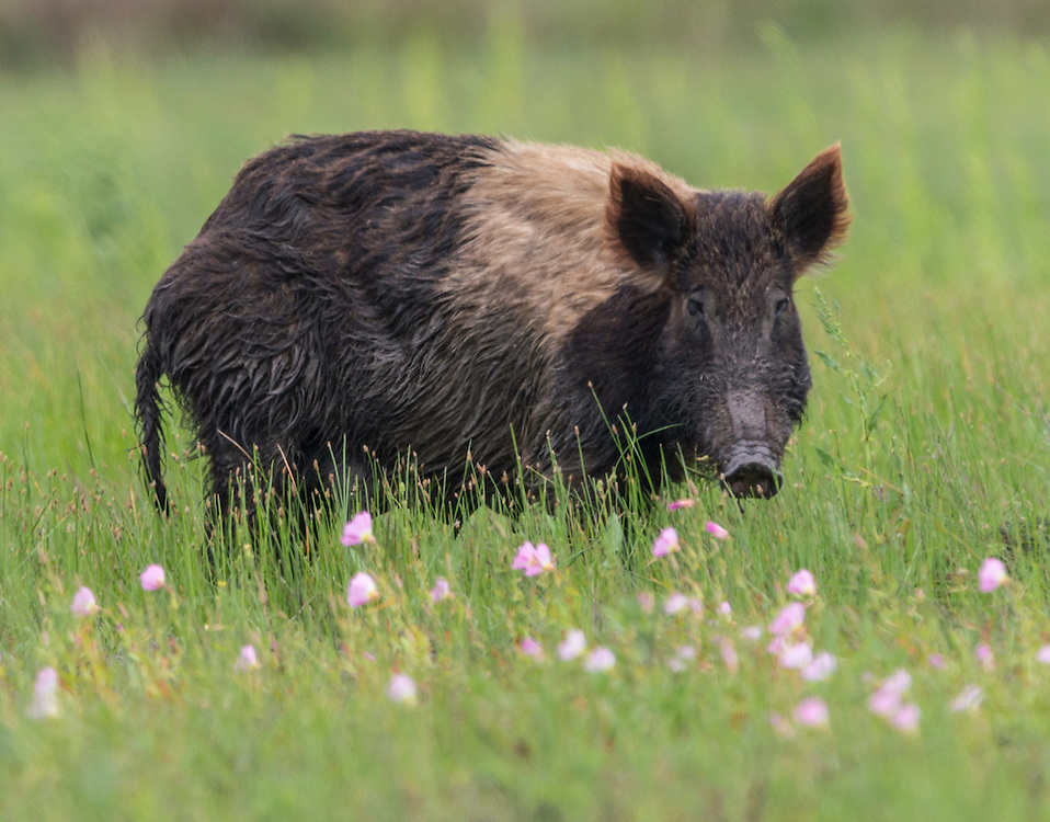 Feral Pig, Sus scrofa<br />