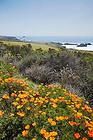 Golden Poppies Along Pacific Coast Highway (PCH) North of San Simeon, San Luis Obispo County, California