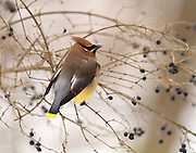 Cedar Waxwing in the winter