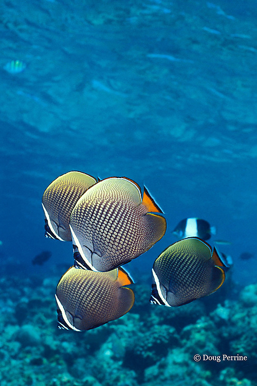 red-tailed butterflyfish, Chaetodon collare, Helengeli, Maldives ( Indian Ocean )