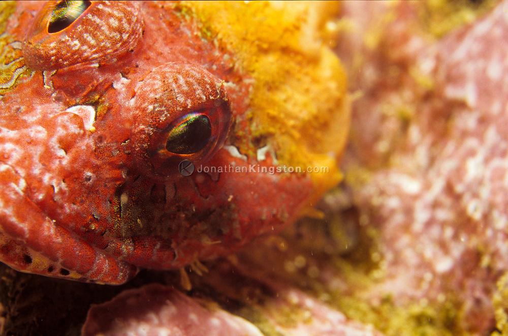 Rainbow scorpionfish, Scorpaenodes xyris.