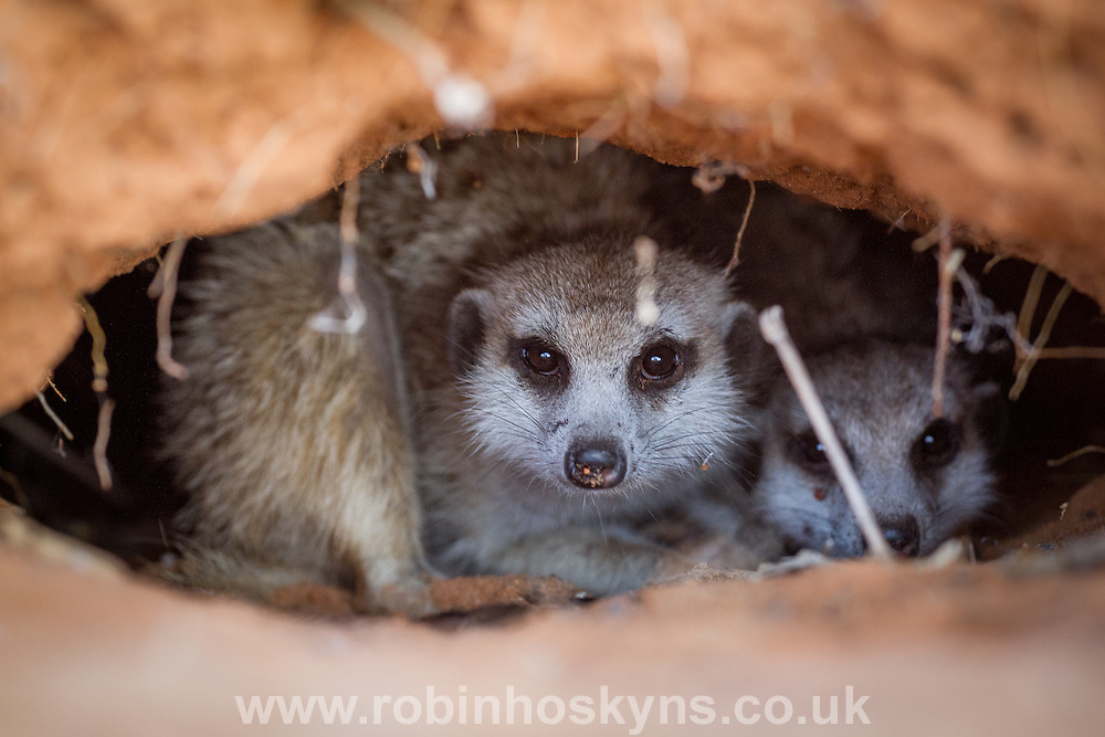 Meerkats emerging from a burrow.
